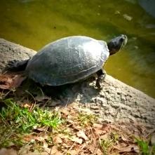 audrey-japanese-garden-turtle-20-2017_ink_li