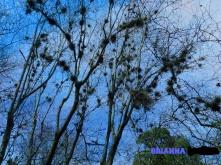 brianna-japanese-garden-tree-2-2017_ink_li