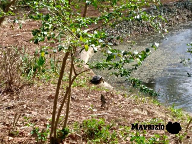 mavrizio-japanese-garden-turtle-2-2017_ink_li